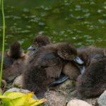 Babyenten im Loki Schmidt Garten