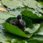 Kleine Ente auf Seerose im Loki Schmidt Garten