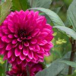 Loki Schmidt Garten Pinke Blume