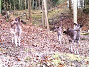 Wildpark Schwarze Berge Rehe