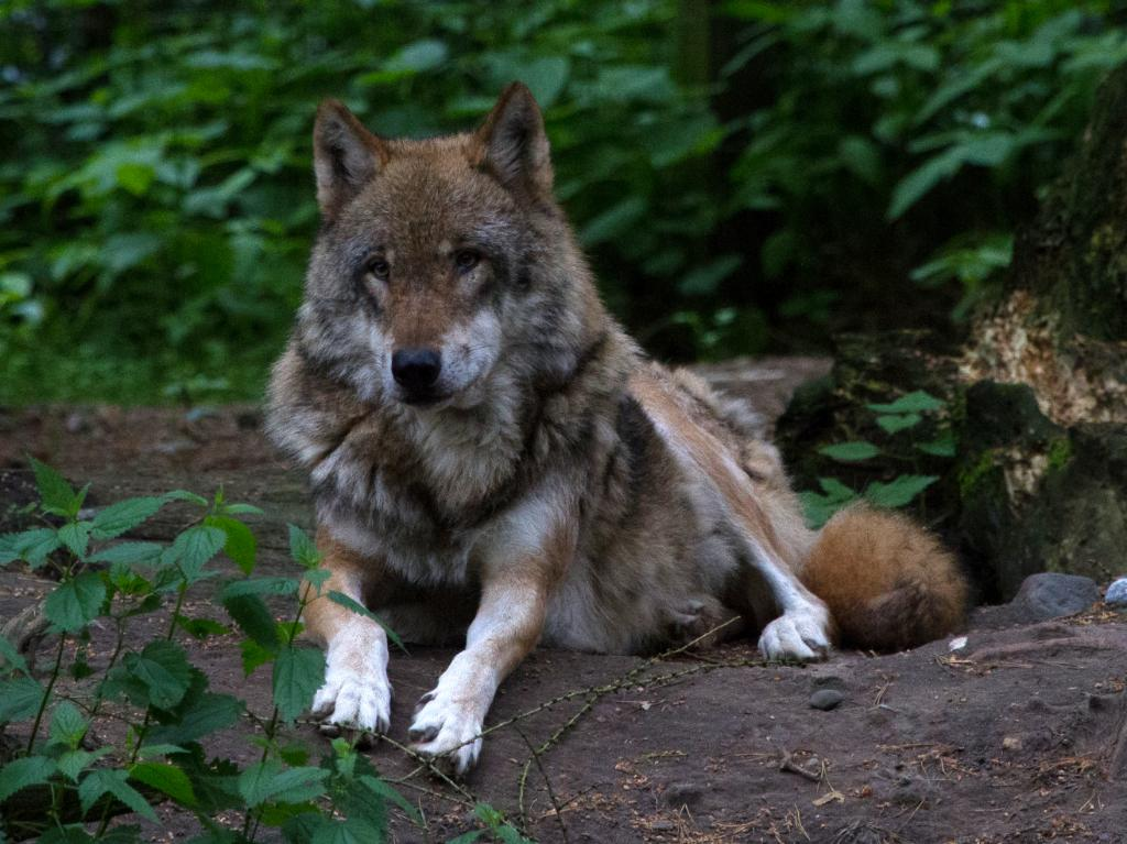 Wildpark Schwarze Berge Wolf